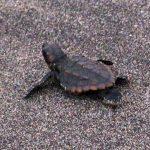 イルカランドで孵化したウミガメ赤ちゃんの放流 鹿児島ダグリ岬海水浴場